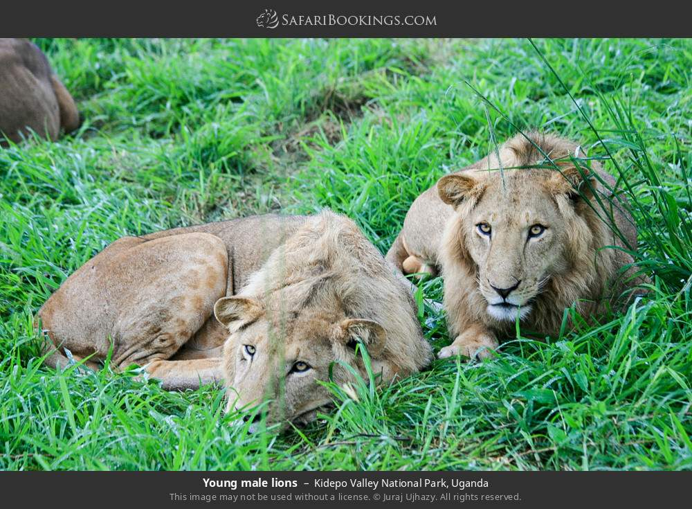 Young male lions in Kidepo Valley National Park, Uganda
