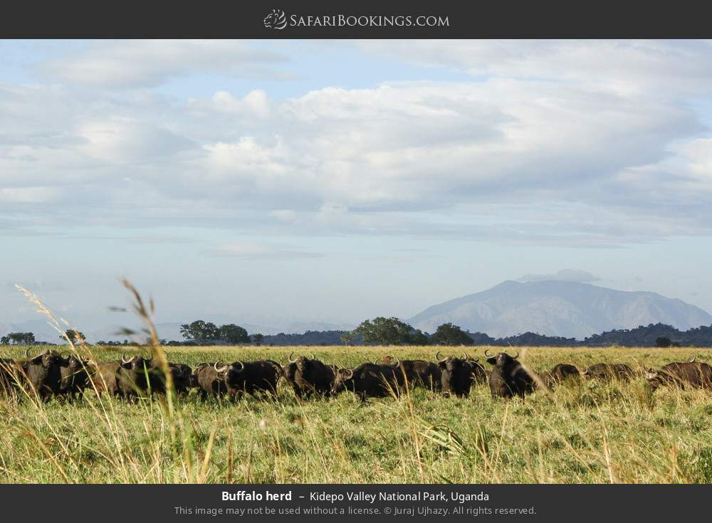 Buffalo herd in Kidepo Valley National Park, Uganda