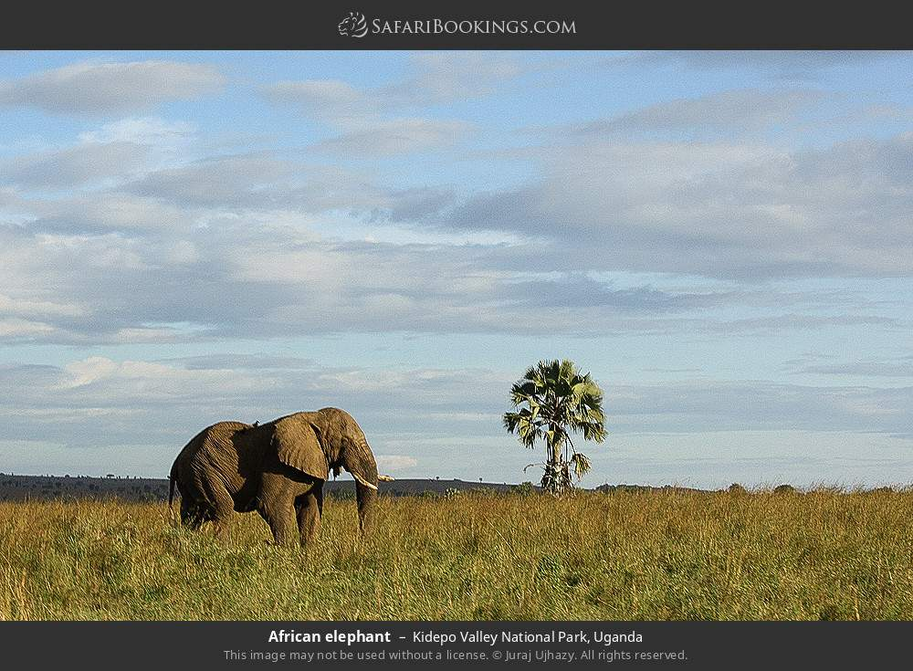 African elephant in Kidepo Valley National Park, Uganda