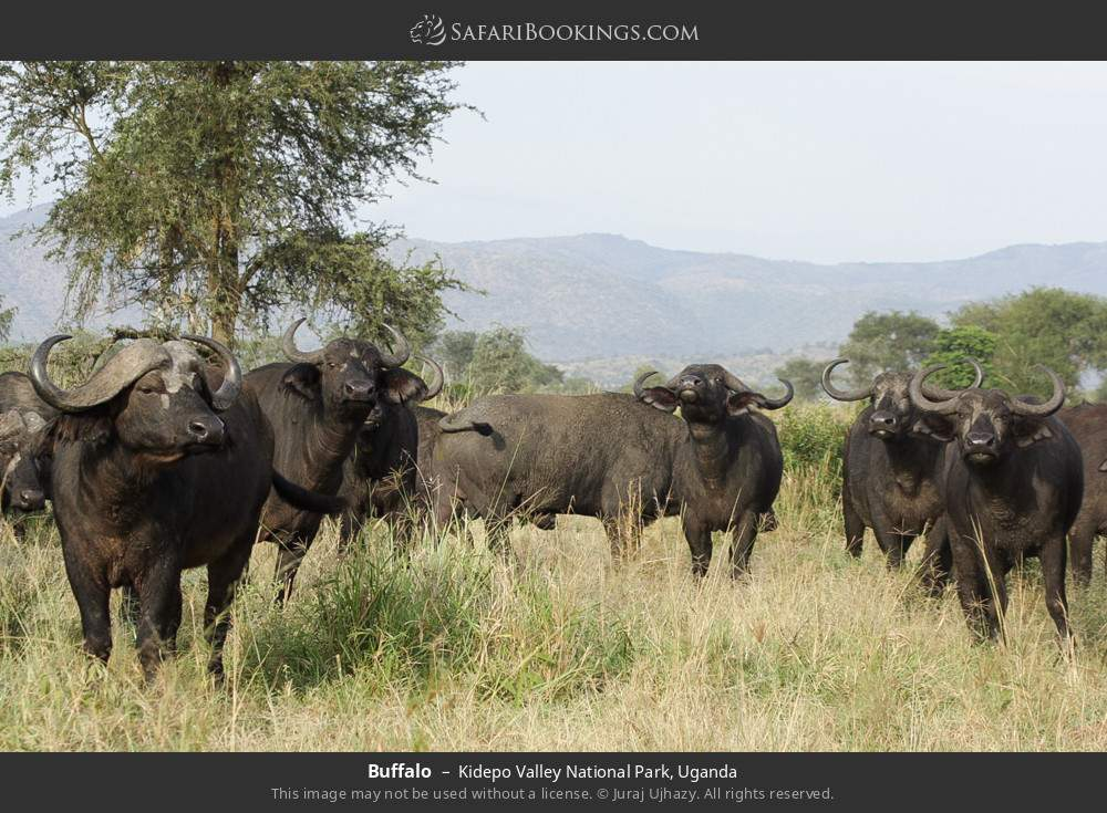 Buffalo in Kidepo Valley National Park, Uganda