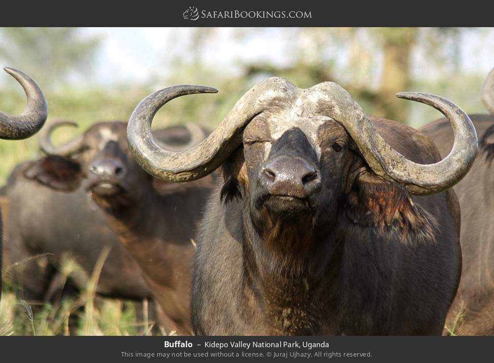 Buffalo in Kidepo Valley National Park, Uganda
