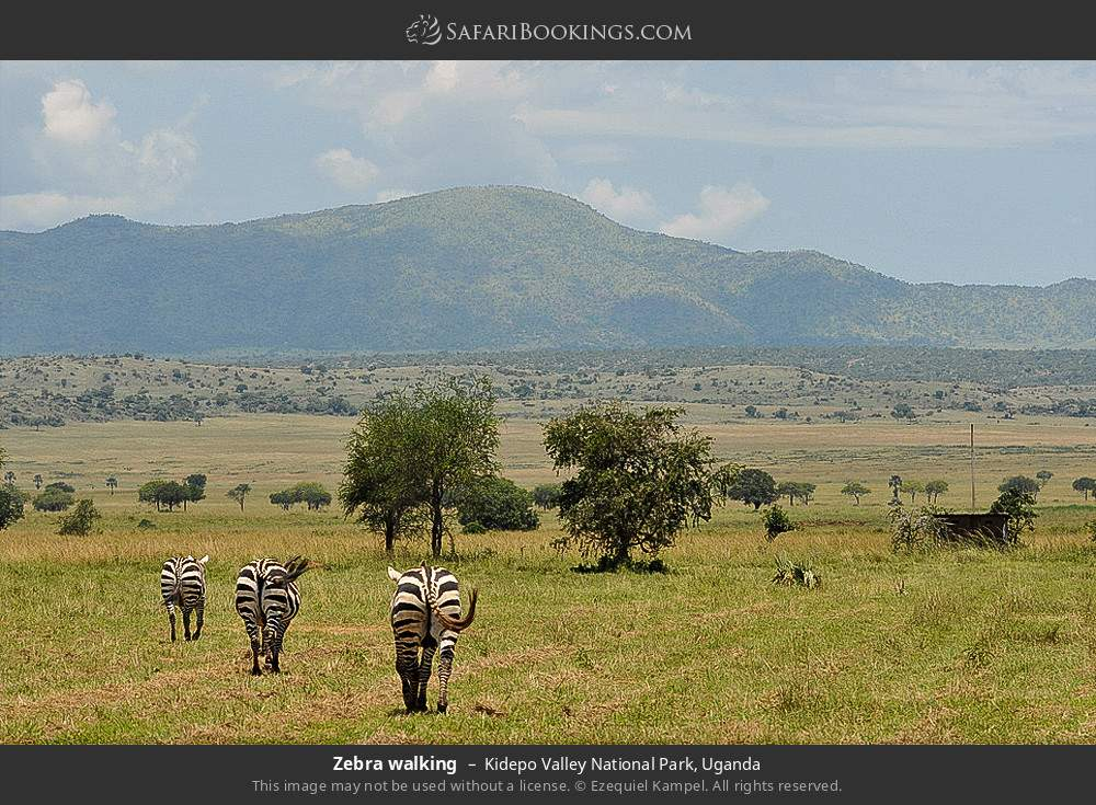 Zebra walking in Kidepo Valley National Park, Uganda