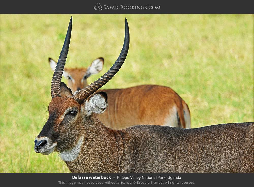 Defassa waterbuck in Kidepo Valley National Park, Uganda