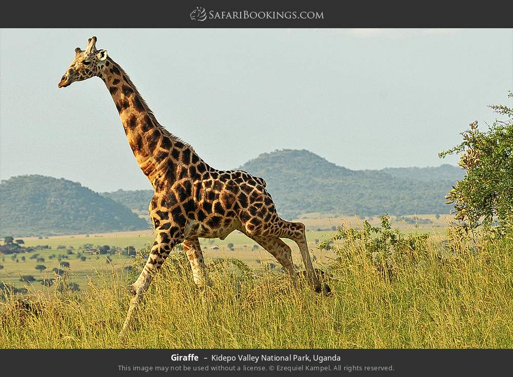 Giraffe in Kidepo Valley National Park, Uganda
