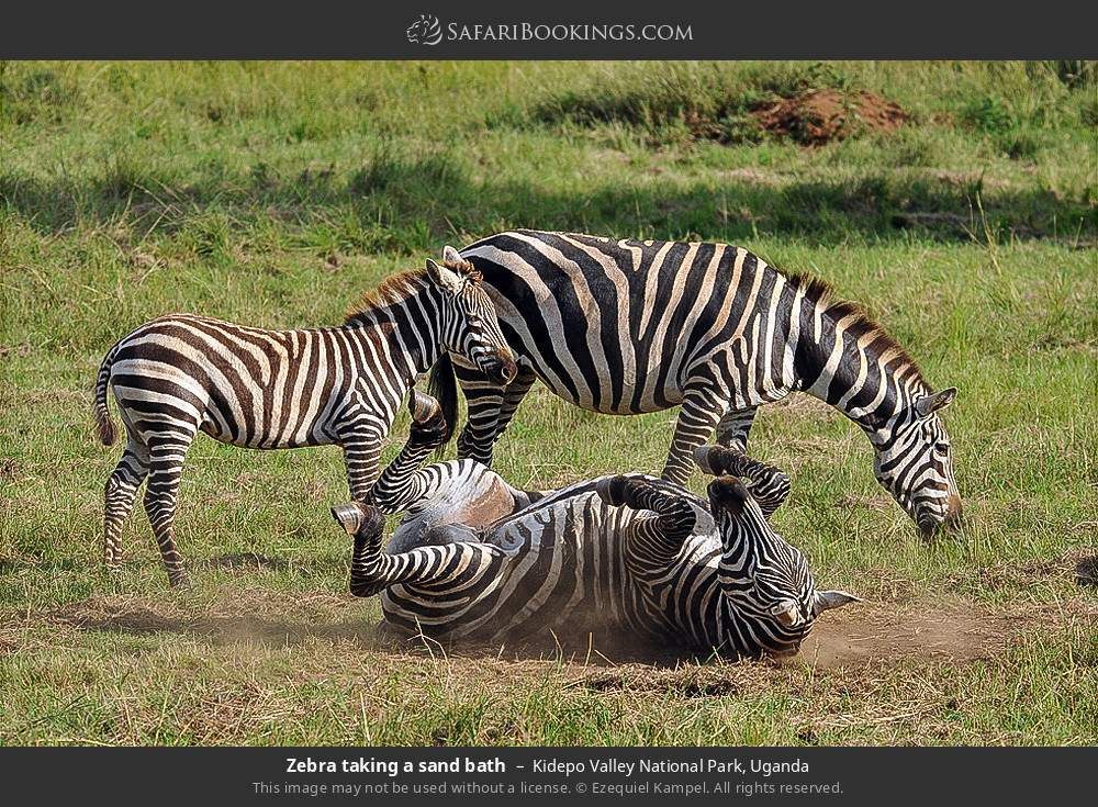 Zebra taking a sand bath in Kidepo Valley National Park, Uganda