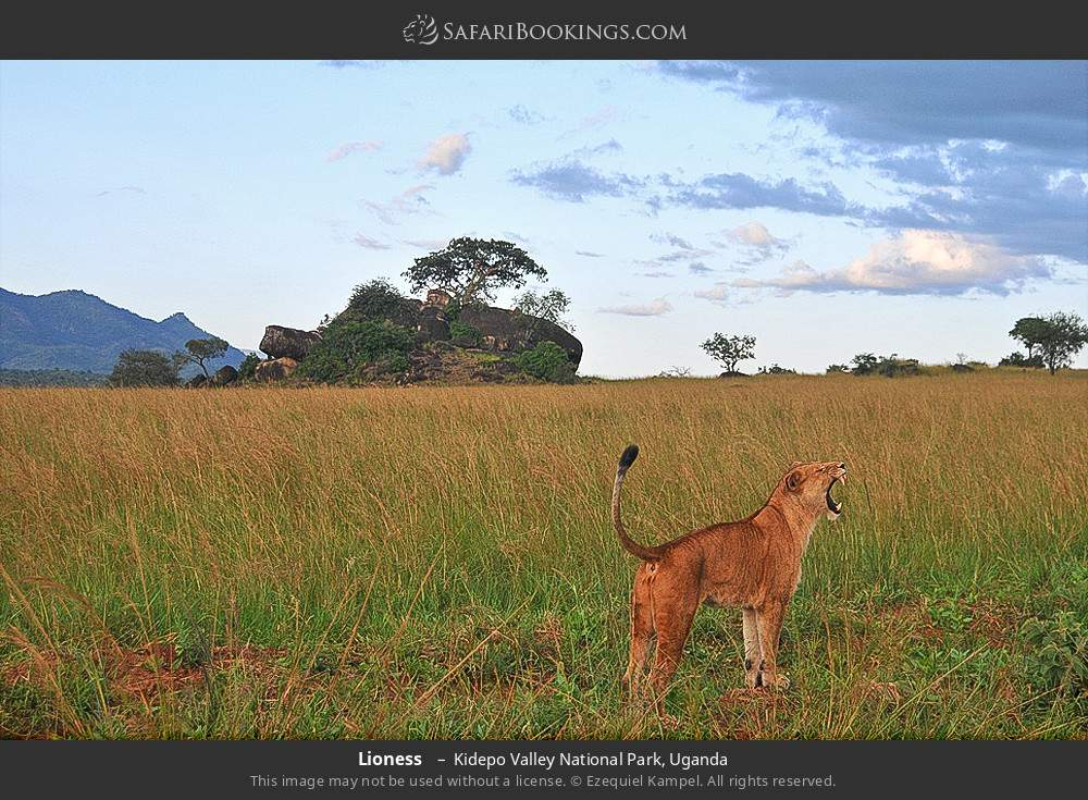 Lioness  in Kidepo Valley National Park, Uganda