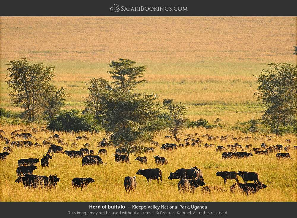Herd of buffalo in Kidepo Valley National Park, Uganda