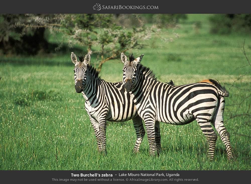 Two Burchell's zebra in Lake Mburo National Park, Uganda