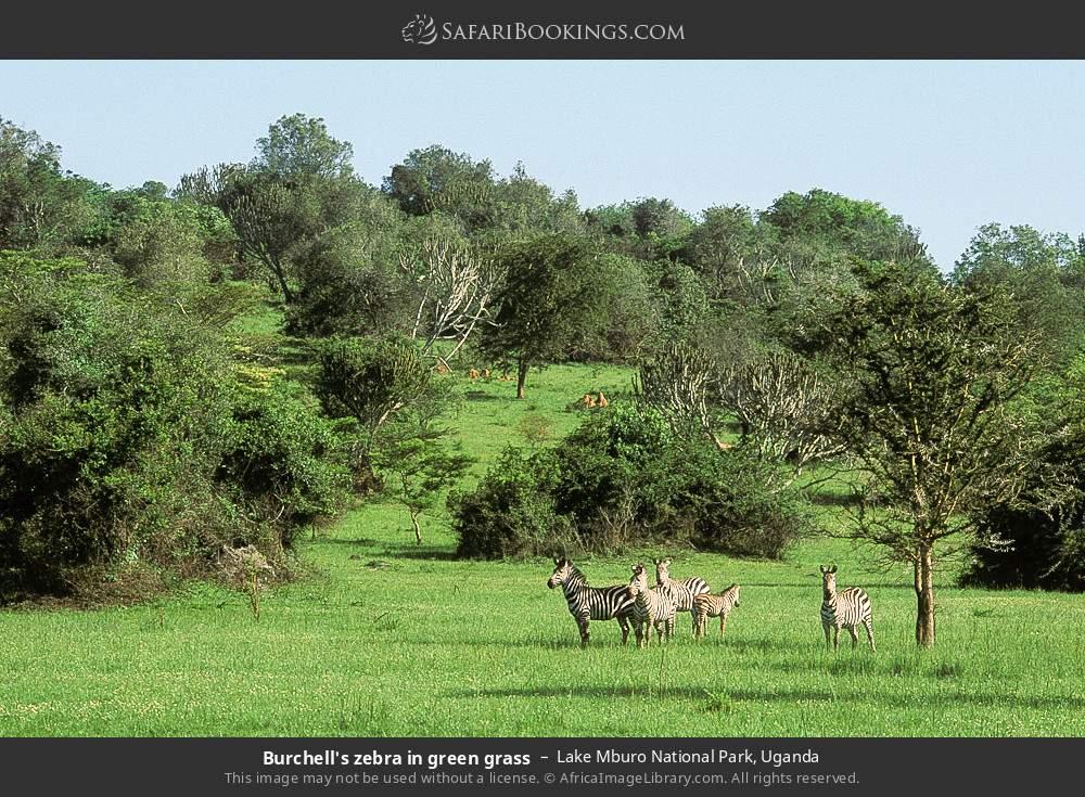 Burchell's zebra in green grass in Lake Mburo National Park, Uganda
