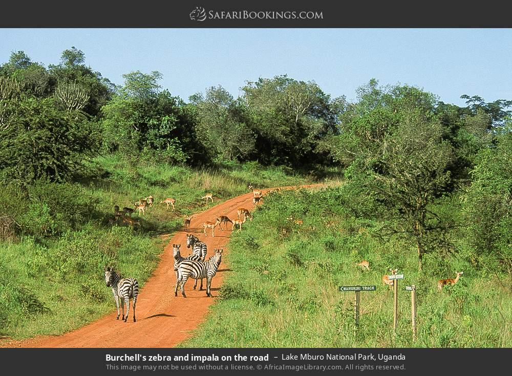 Burchell's zebra and impala on the road in Lake Mburo National Park, Uganda
