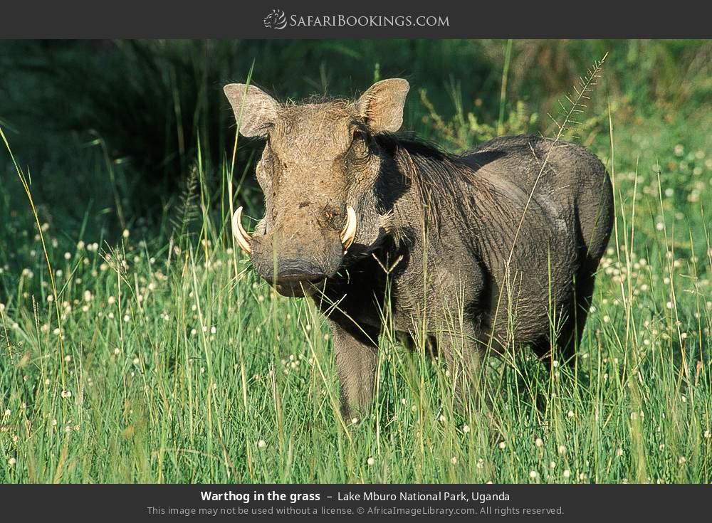 Warthog in the grass in Lake Mburo National Park, Uganda