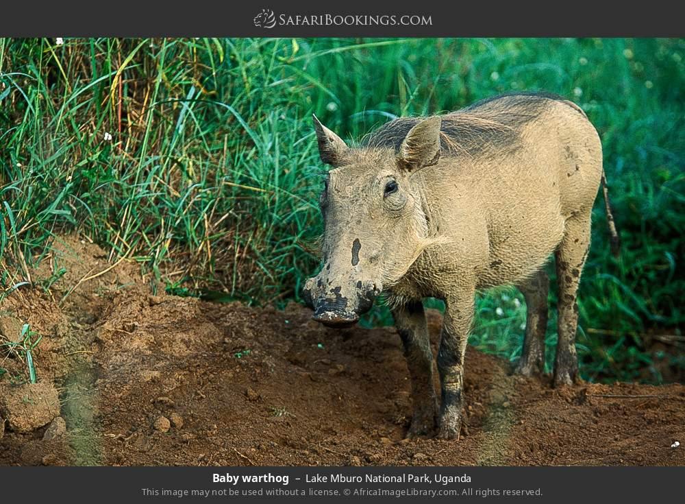 Baby warthog in Lake Mburo National Park, Uganda