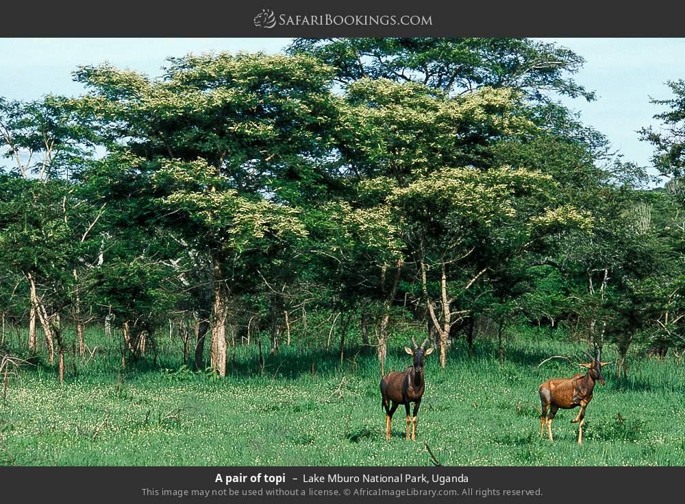 A pair of topi in Lake Mburo National Park, Uganda