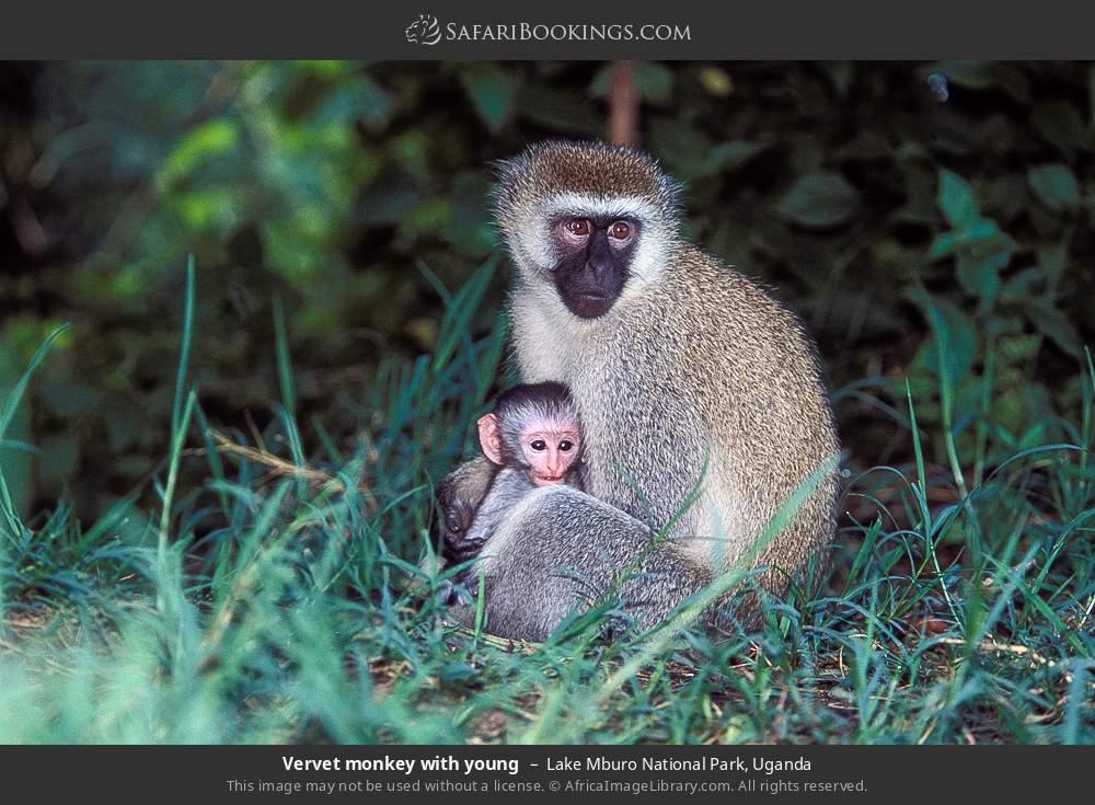 Vervet monkey with young in Lake Mburo National Park, Uganda