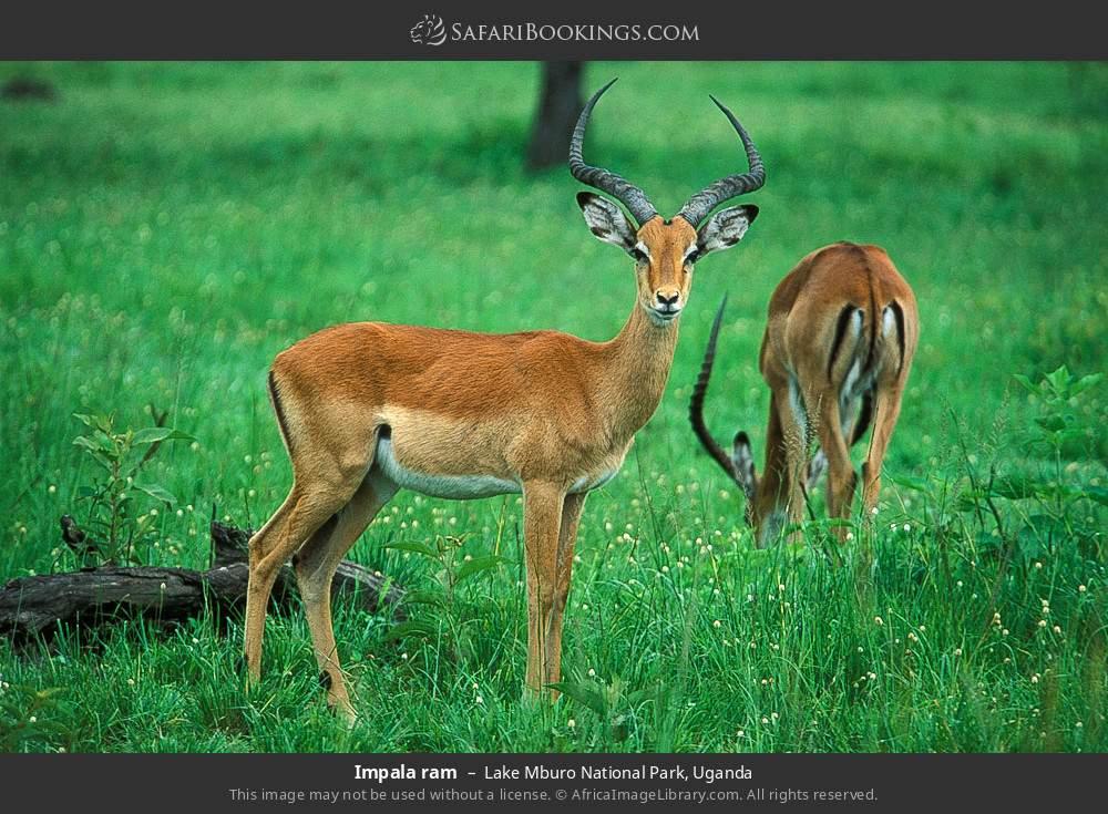 Impala ram in Lake Mburo National Park, Uganda