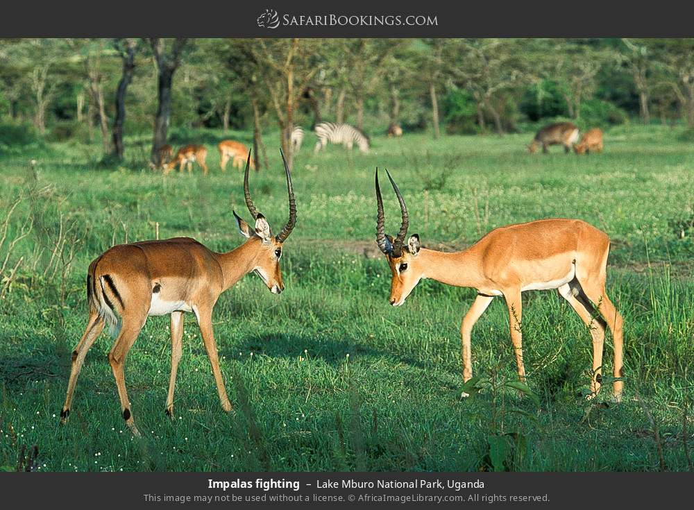Impalas fighting in Lake Mburo National Park, Uganda
