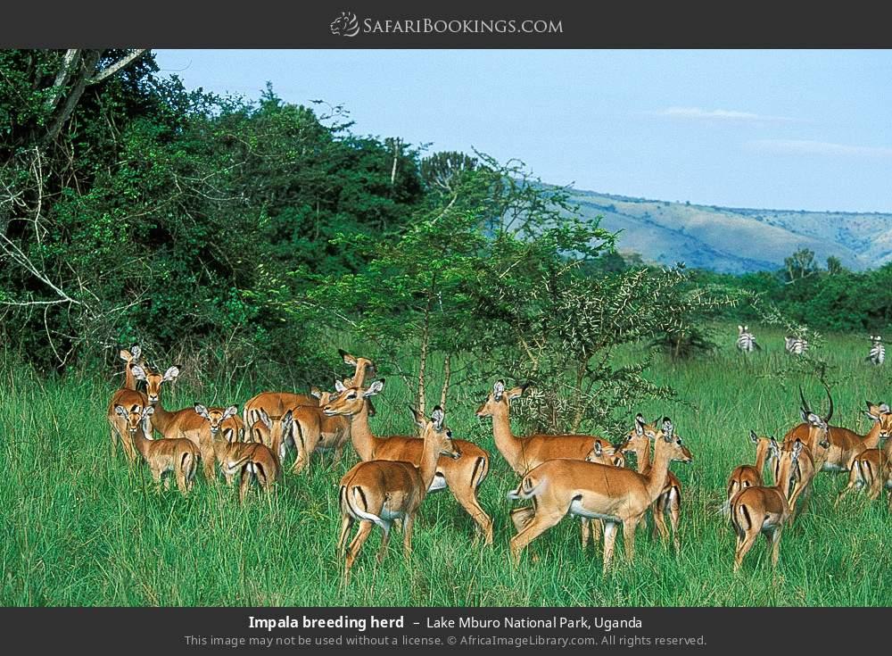 Impala breeding herd in Lake Mburo National Park, Uganda