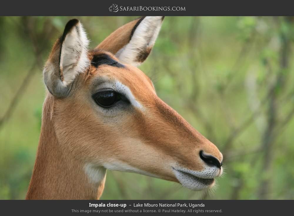 Impala close-up in Lake Mburo National Park, Uganda