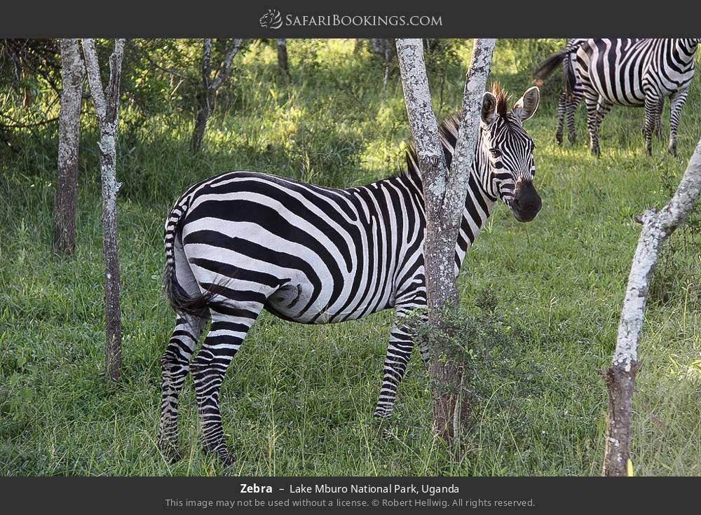 Zebra in Lake Mburo National Park, Uganda