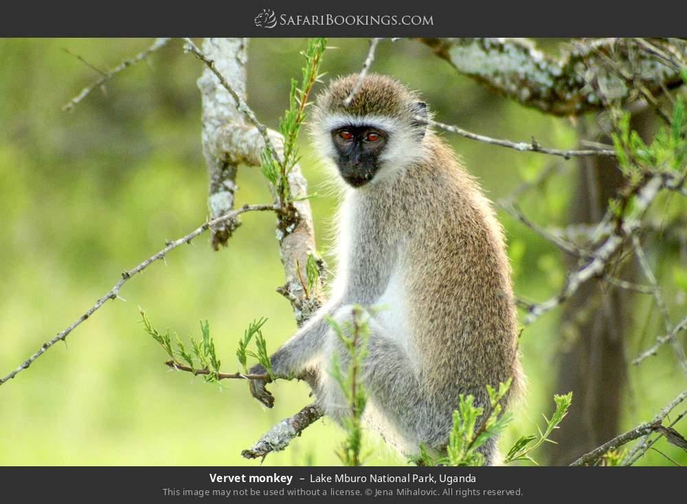 Vervet monkey in Lake Mburo National Park, Uganda