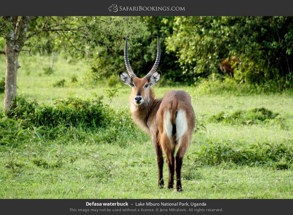 Defasa waterbuck in Lake Mburo National Park, Uganda