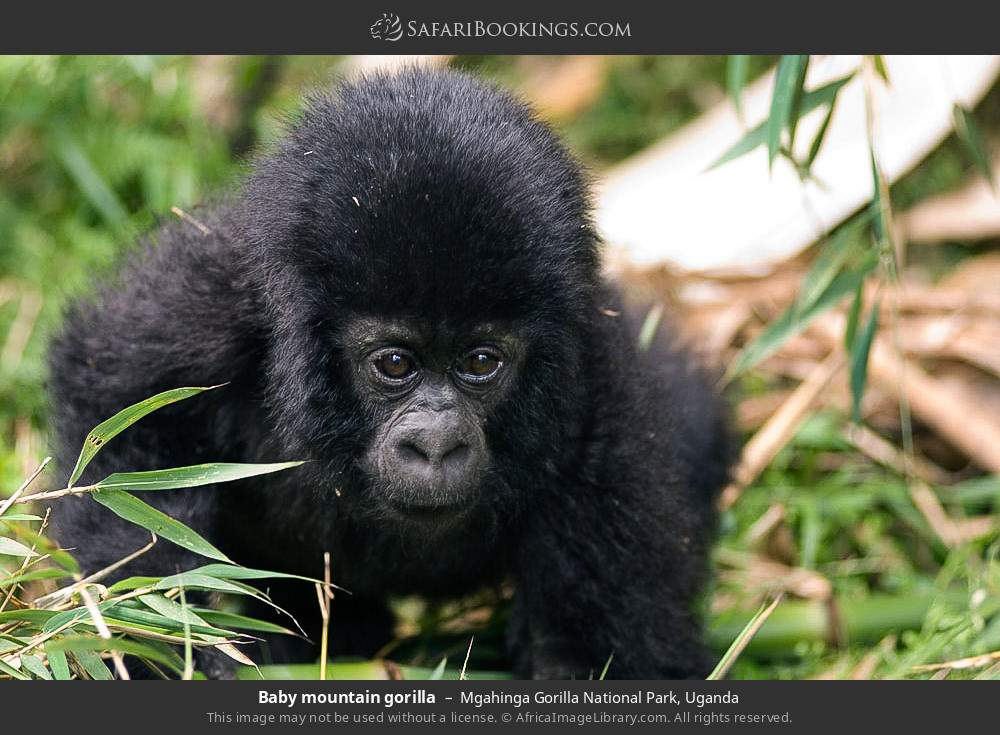 Baby mountain gorilla in Mgahinga Gorilla National Park, Uganda