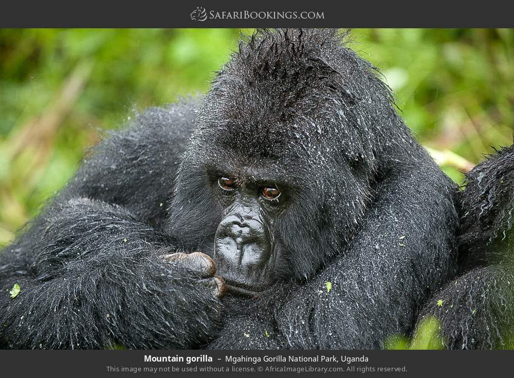 Mountain gorilla in Mgahinga Gorilla National Park, Uganda