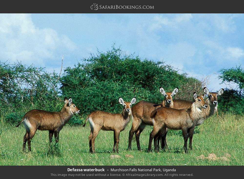 Defassa waterbuck in Murchison Falls National Park, Uganda
