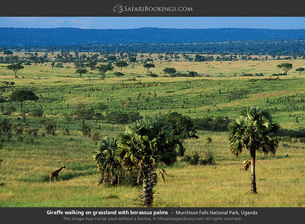 Giraffe walking on grassland with borassus palms in Murchison Falls National Park, Uganda
