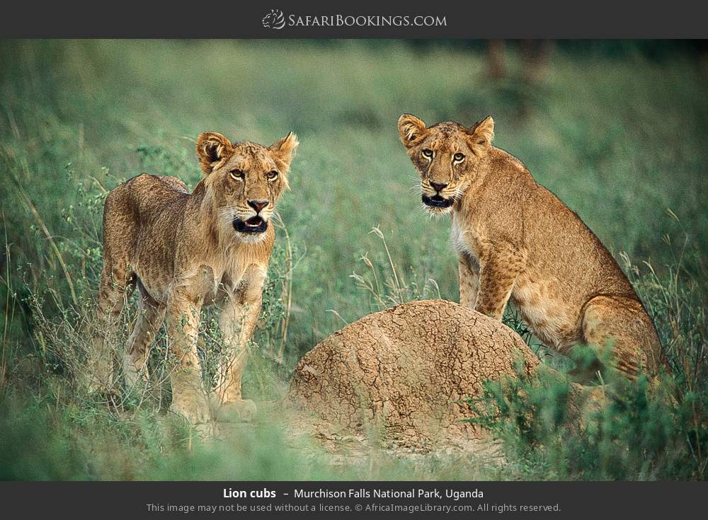 Lion cubs in Murchison Falls National Park, Uganda