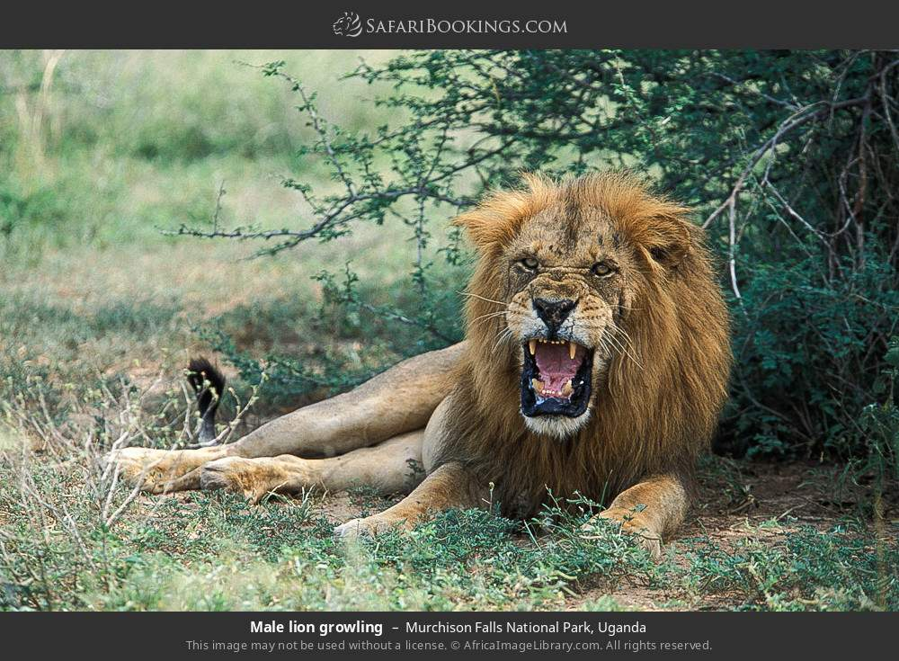 Male lion growling in Murchison Falls National Park, Uganda