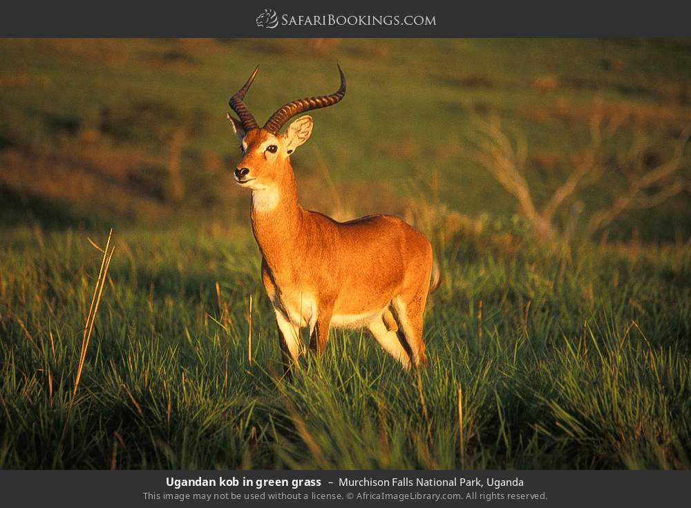 Ugandan kob in green grass in Murchison Falls National Park, Uganda