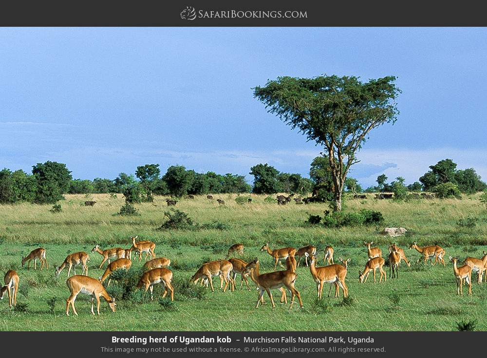 Breeding herd of Ugandan kob in Murchison Falls National Park, Uganda