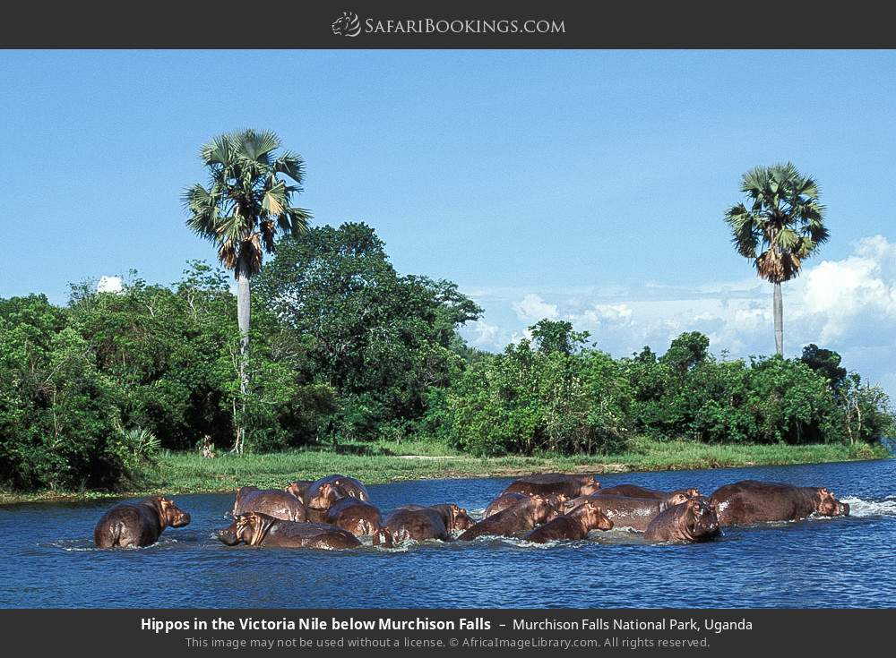 Hippos in the Victoria Nile below Murchison Falls in Murchison Falls National Park, Uganda