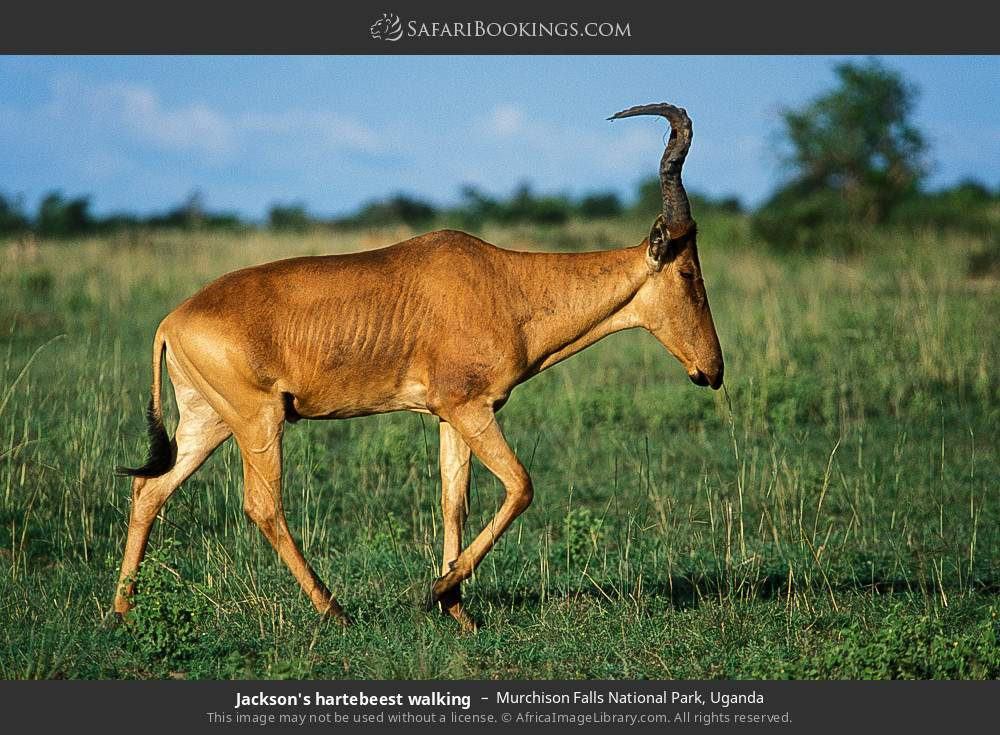 Jackson's hartebeest walking in Murchison Falls National Park, Uganda