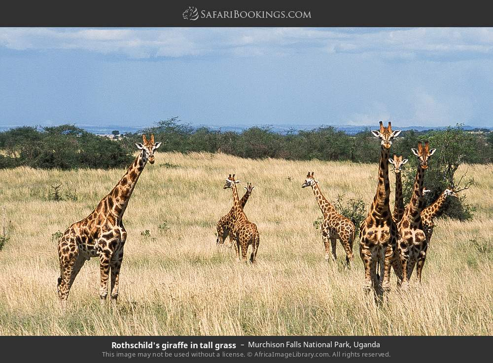 Rothschild's giraffe in tall grass in Murchison Falls National Park, Uganda