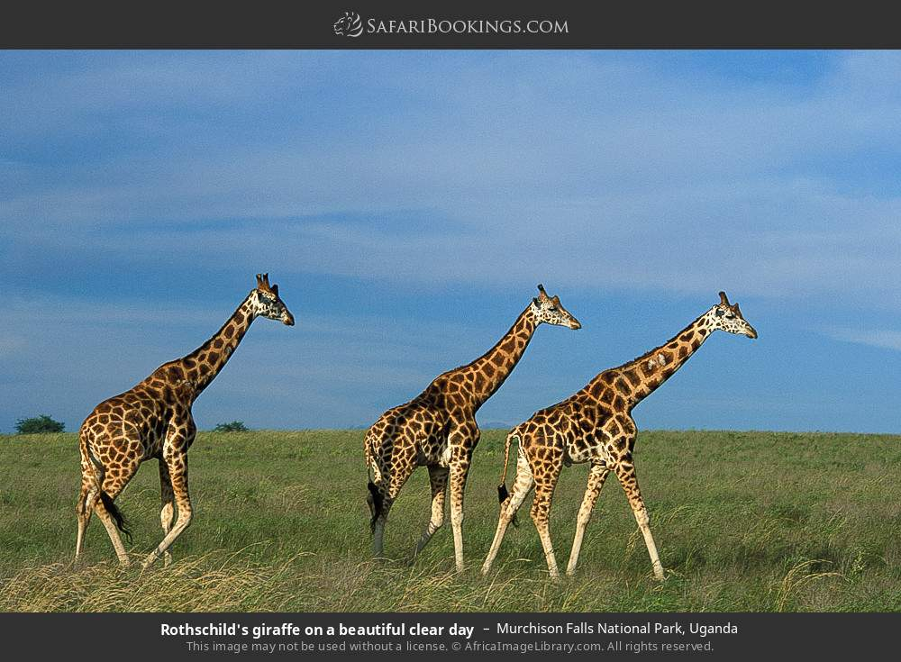 Rothschild's giraffe on a beautiful clear day in Murchison Falls National Park, Uganda