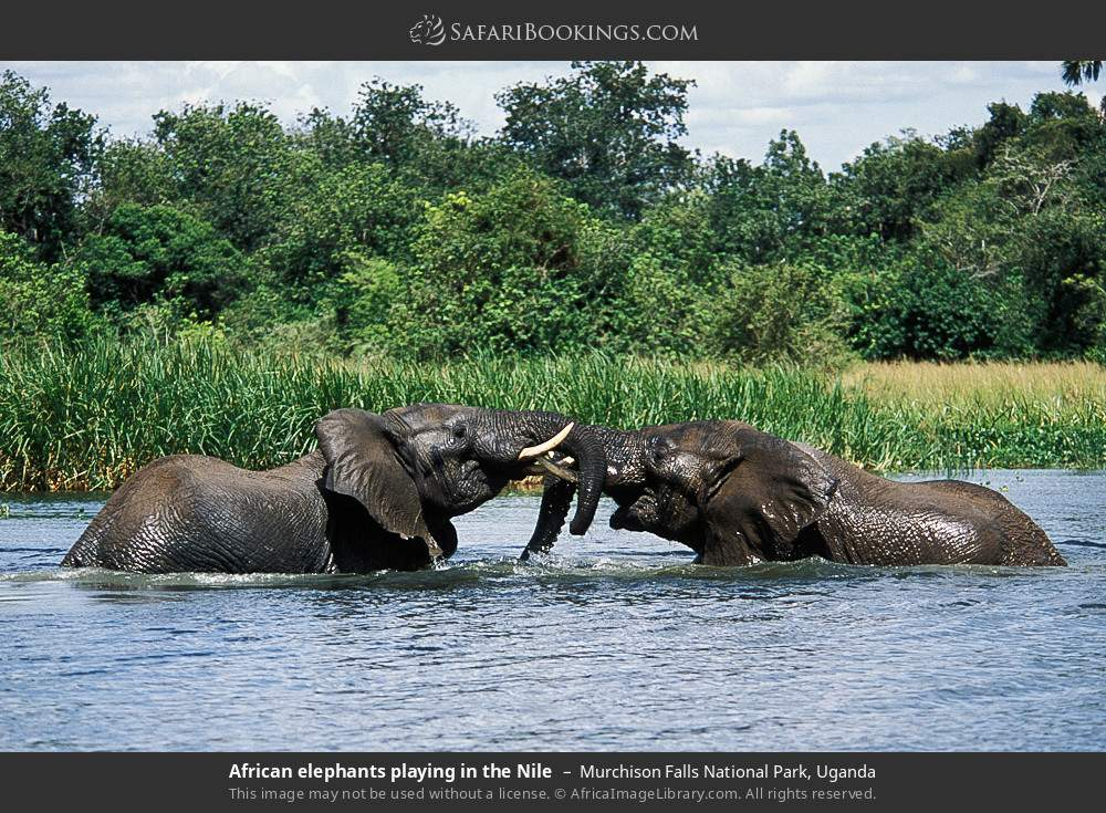 African elephants playing in the Nile in Murchison Falls National Park, Uganda