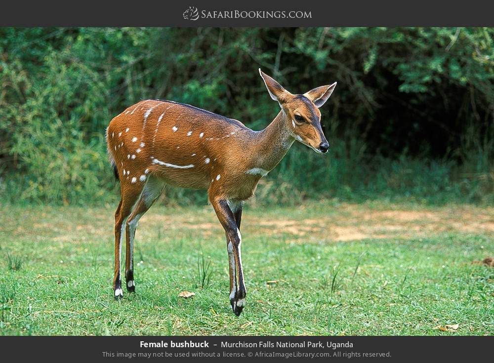 Female bushbuck in Murchison Falls National Park, Uganda