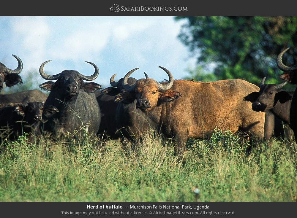 Herd of buffalo in Murchison Falls National Park, Uganda