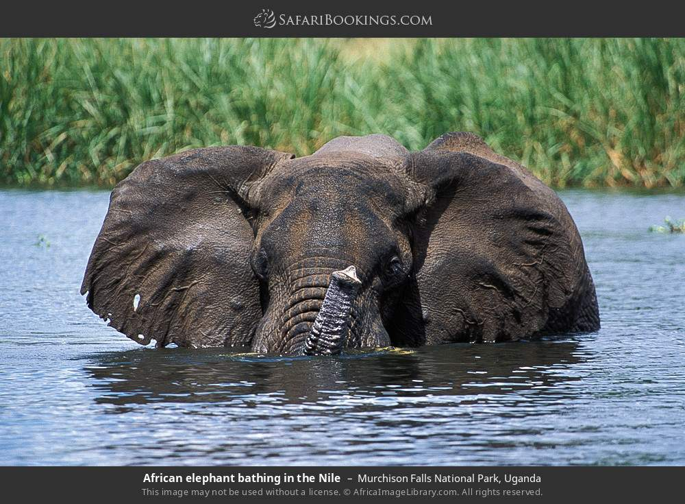 African elephant bathing in the Nile in Murchison Falls National Park, Uganda