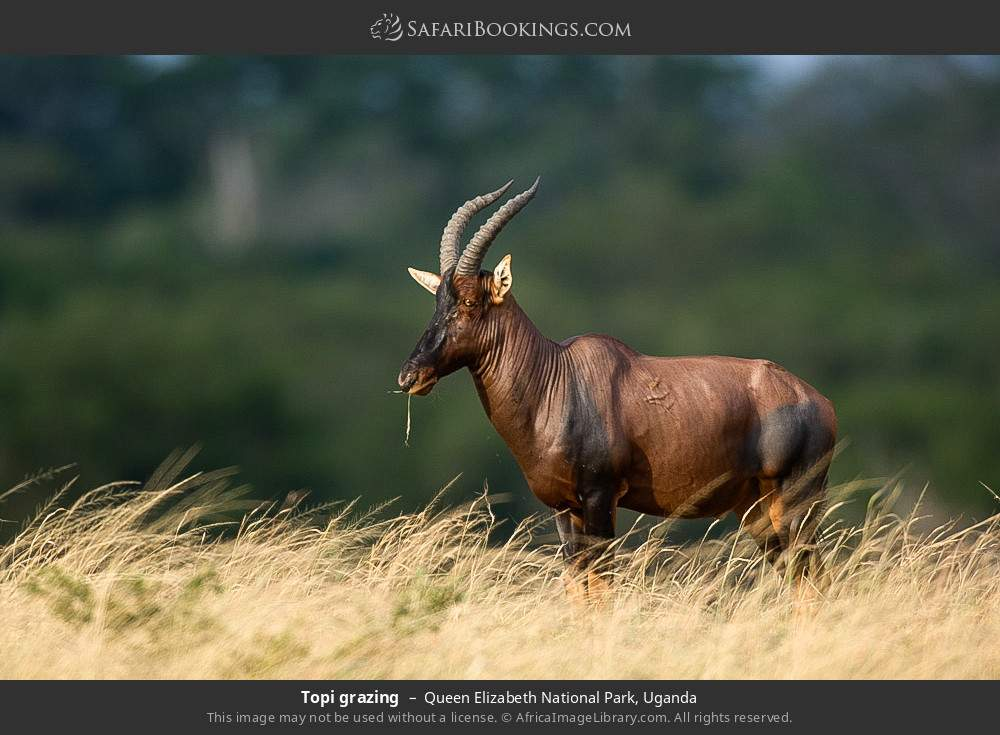 Topi grazing in Queen Elizabeth National Park, Uganda