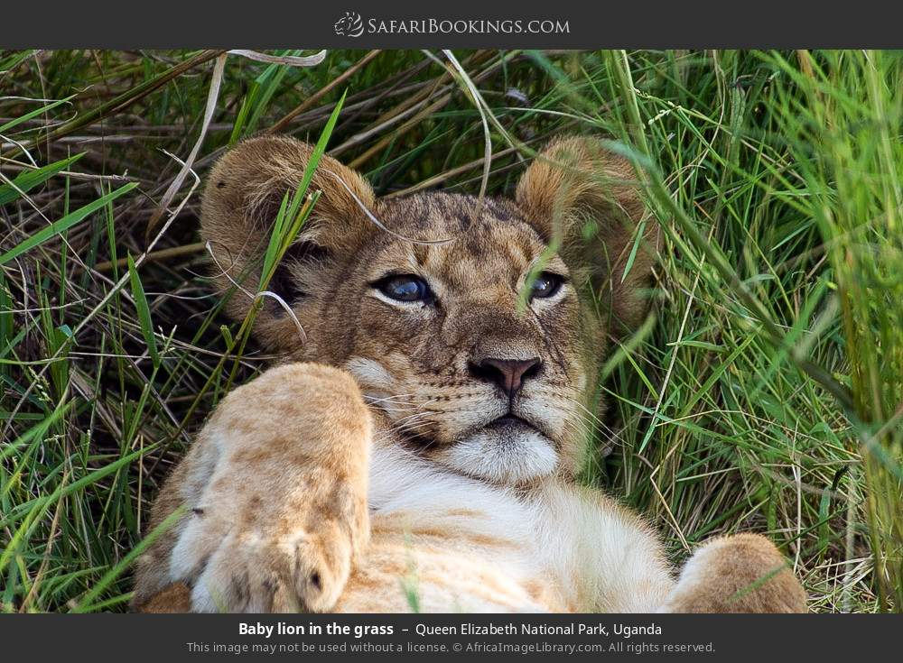 Baby lion in the grass in Queen Elizabeth National Park, Uganda