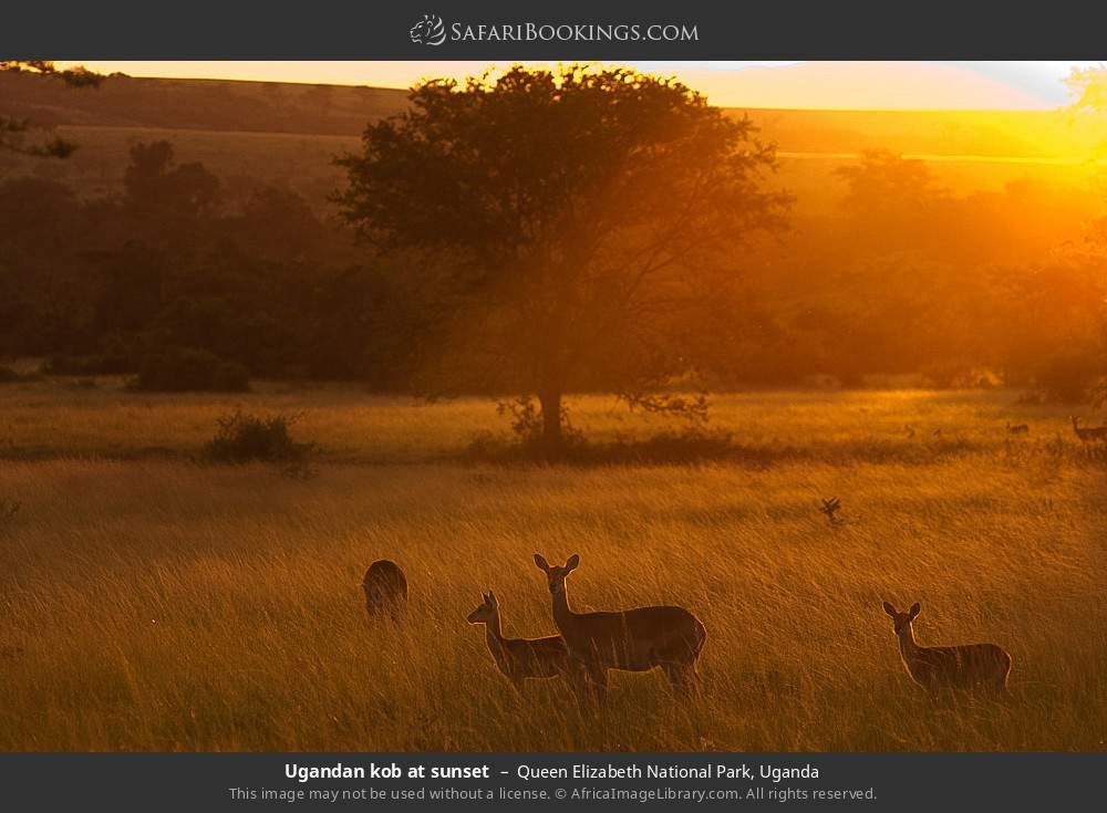 Ugandan kob at sunset in Queen Elizabeth National Park, Uganda