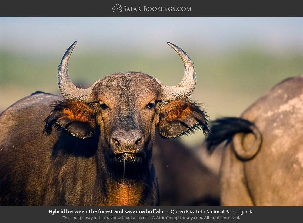 Hybrid between the forest and savanna buffalo in Queen Elizabeth National Park, Uganda