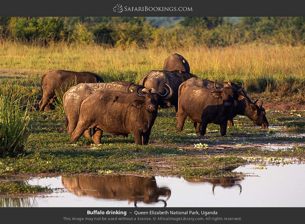Buffalo drinking in Queen Elizabeth National Park, Uganda