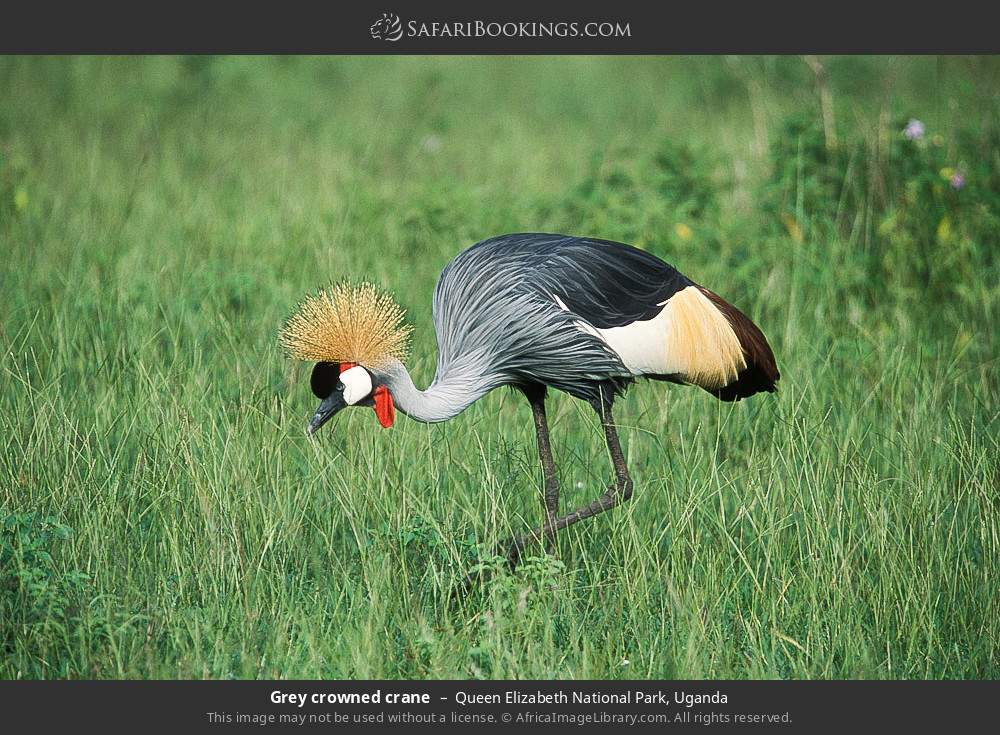Grey crowned crane in Queen Elizabeth National Park, Uganda