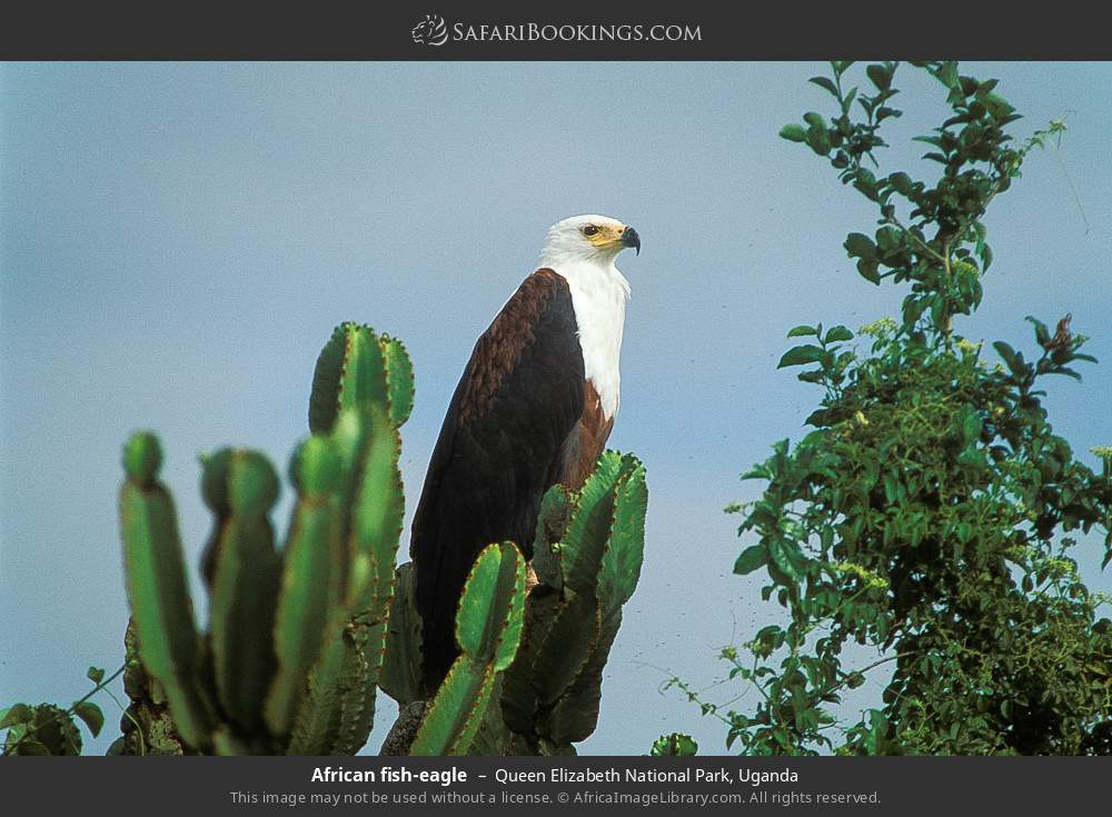 African fish-eagle in Queen Elizabeth National Park, Uganda