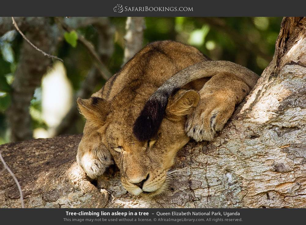 Tree-climbing lion asleep in a tree in Queen Elizabeth National Park, Uganda