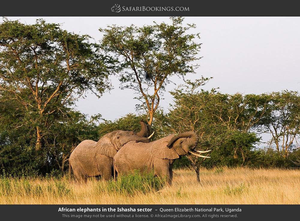 African elephants in the Ishasha sector in Queen Elizabeth National Park, Uganda